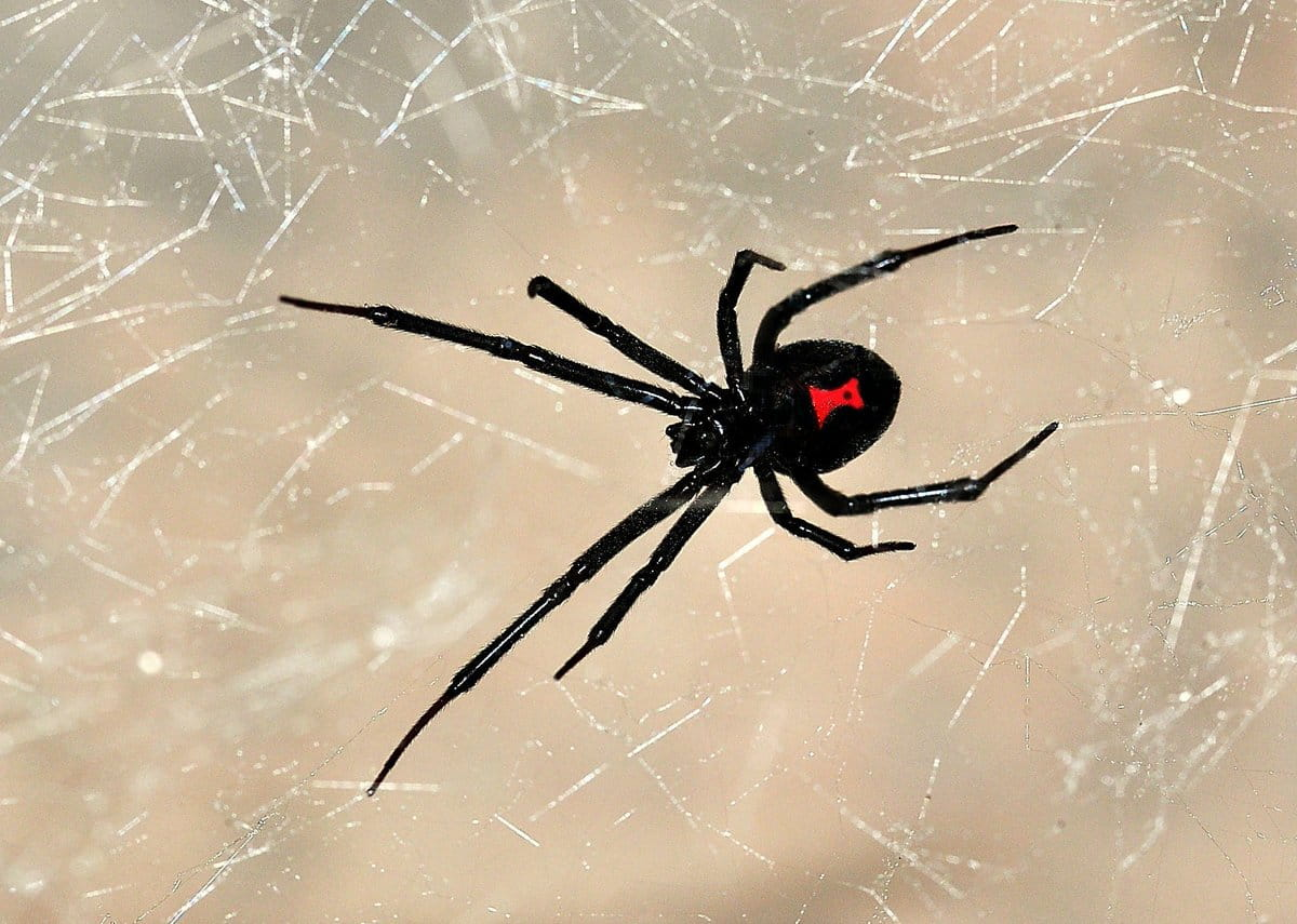 паук черная вдова фото и описание пожилой мужчина